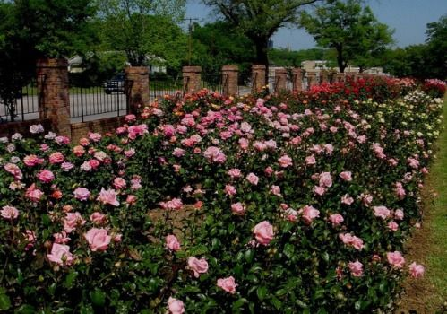 Roses Texas: Best roses to grow in Texas, Central Texas or South Texas. Best climbing roses for Texas