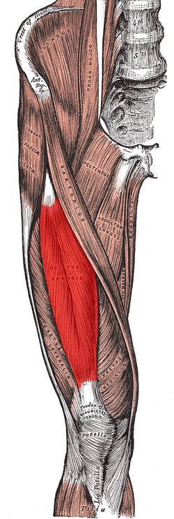 Rectus femoris Originanterior inferior iliac spine and the exterior surface of the bony ridge which forms the groove on the iliac portion of the acetabulum Insertioninserts into the patellar tendon as one of the four quadriceps muscles Arterydescending branch of the lateral femoral circumflex artery Nervefemoral nerve Actionsknee extension; hip flexion AntagonistHamstring