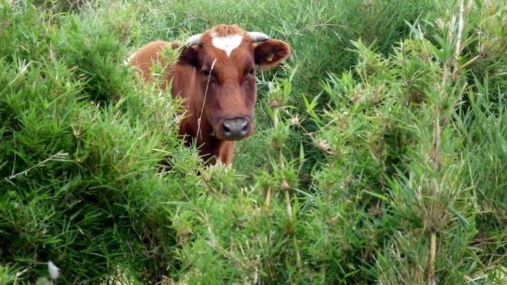 #patagonia #caminoensendada #chile #puertovaras #vaca #cattle #cows #surdechile