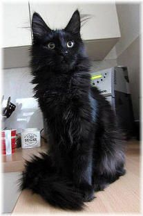 Black cats have grown on me. But I don't want just a regular black cat...I want this black cat lol Maine coons!!