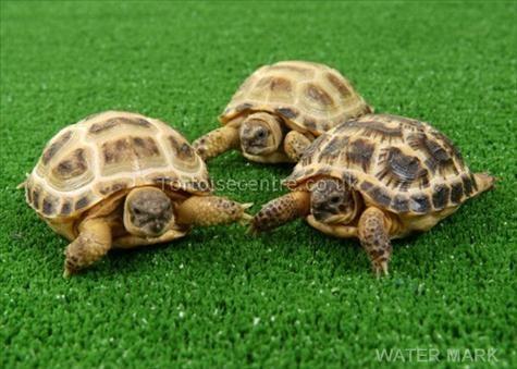Image of Horsfield tortoise