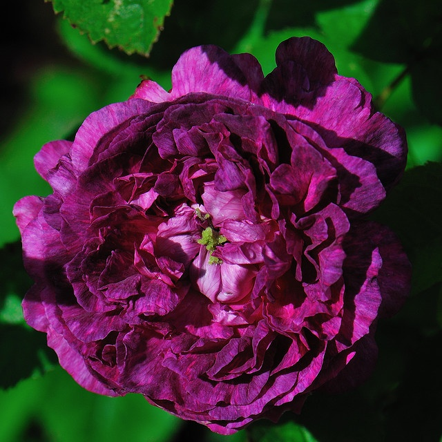 Belle de Crecy - a Gallica, packed with perfume ... petals go from cerise to violet to mauve and stems on which blooms appear are practically thornless...   photo taken by #WestLothian #Antique_Rose  #Belle_De_Crecy