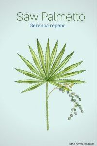 Saw Palmetto Herb Uses, Side Effects and Benefits