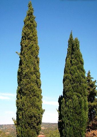 O cipreste italiano, também conhecido como cedro-bastardo ou cipreste comum, tem origem na Europa e prefere climas mais secos. Crescem bem em