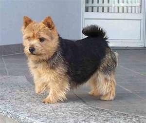 Norwich Terrier.