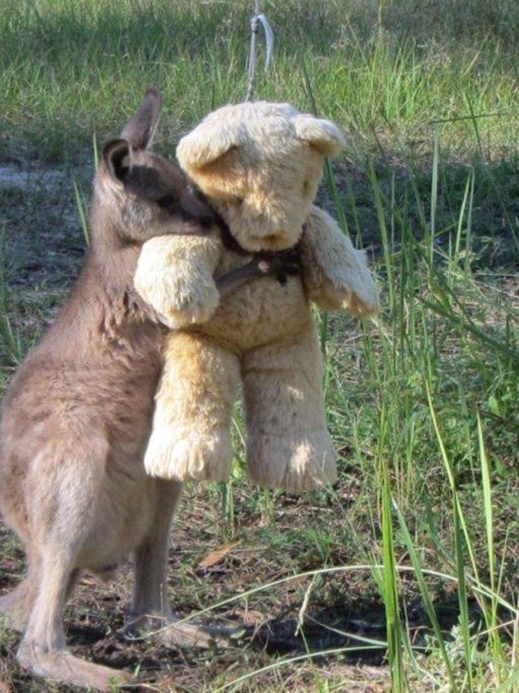 Adorable Orphaned Kangaroo Hugs Teddy Bear In Viral Photo. We Can't Make This Stuff Up