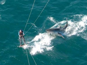Great White Shark Attack on Kiteboarder - Near Miss!