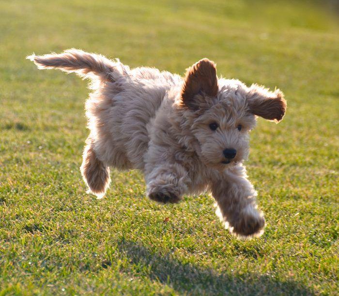 Labradoodle El Labradoodle puede ser un nombre muy gracioso, pero es un gran perro. Estos perros se están convirtiendo en una de las razas de perro más populares en América, y una de las grandes razones es que es hipoalergénico. El cruce es relativamente nuevo y no fue introducido por …