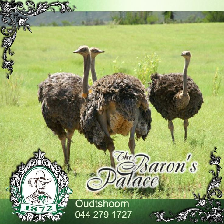 Top 10 Oudtshoorn Activities! There is so much to see and experience in Oudtshoorn that it's well worth not turning back early the next time you decide on a road trip along Route 62. For more click here: http://on.fb.me/1lZJXf6 #activities #Oudshoorn #Route62