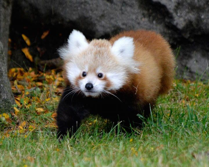 Meet Tofu, an adorable red panda who made her public debut at the Detroit Zoo.