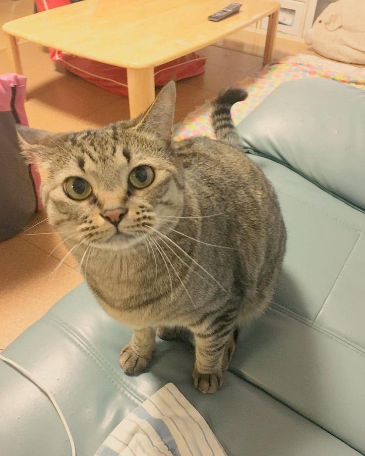 """eriiii4886: """"+ #はるさん + どしたの? とでも、 言いたげ。笑 + おはよございます。 雨降りの土曜日。 今日もカラ元気で がんばります。笑 + #猫#ねこ#ネコ#neko#にゃんこ#cat#ねこ部#ふわもこ部#ぺこねこ部#ねこら部#にゃんすたぐらむ#ねこすたぐらむ#みんねこ#キジトラ#キジ猫#しましま軍団#catstagram#instacat#haru#丸い#もふもふ#女子力高..."""