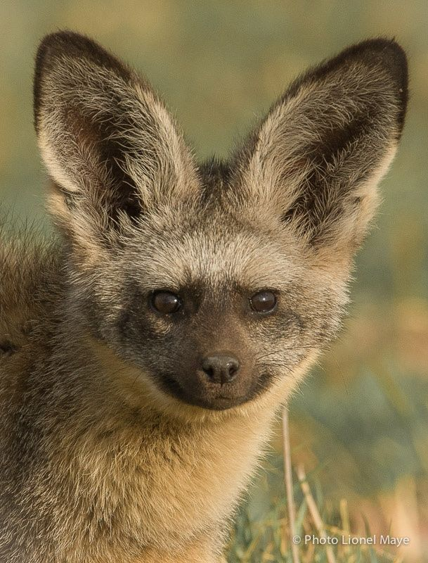 887 best images about Canidae - Wild Dog Species on Pinterest