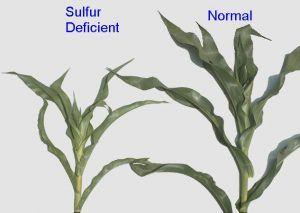 sulfur deficiency in corn
