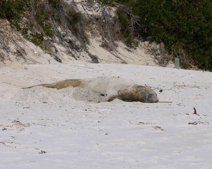 Elephant seal - resting at Maria Island