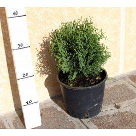 Abeti e Conifere - SoloPiante.it - vendita piante on line (4) - SoloPiante