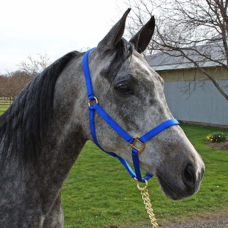 "Arab Horse Halter | Hamilton 3/4"" Nylon Arab Halter - Horse view #3"