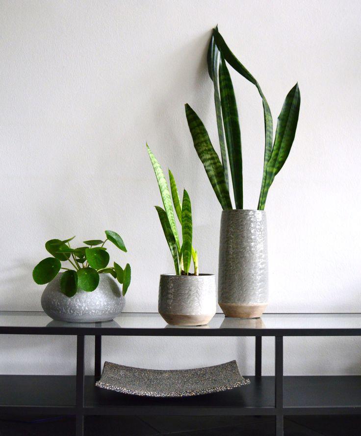 Bogenhanf, Bauchnabelpflanze-Ufopflanze in grauer Keramik