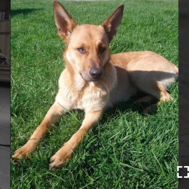 Adopt Asya On Pets Rescue Dogs Dogs Pet Adoption