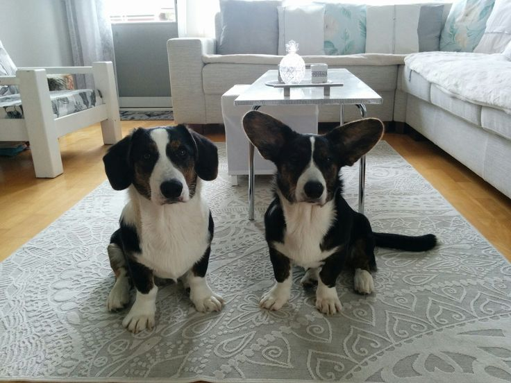 We are half year old today  Miina & Manu Welsh corgi cardigan.