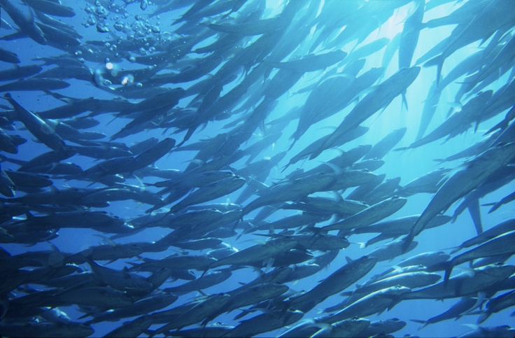 A school of jackfish began circling me and my dive buddy near the wreck of the USS Liberty in Tulamben, Bali