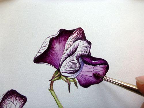 Step 10 of botanical sketchbook study of sweet pea flower