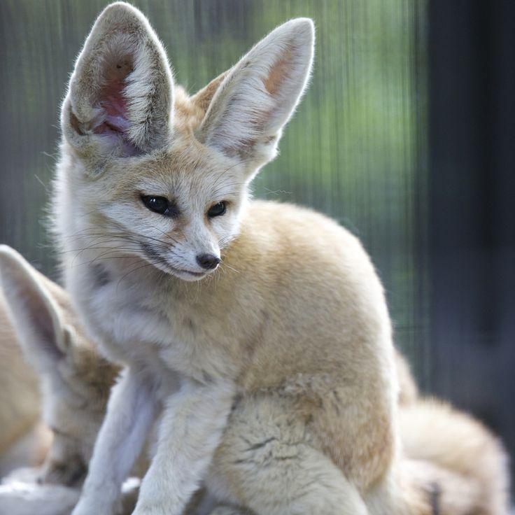 205 best renards des sables images on pinterest - Pagina da colorare fennec fox ...