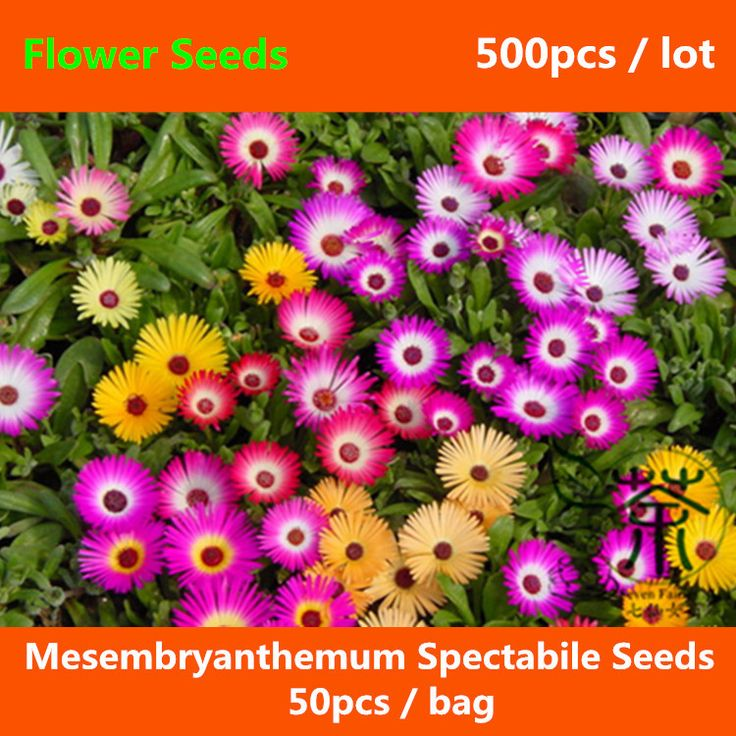 Find More Bonsai Information about Very Popular Mesembryanthemum Spectabile Seeds 500pcs, Ice Plant Livingstone Daisy Flower Seeds, Ornamental Plant Iceplant Seeds,High Quality daisy flower seed,China flower seeds Suppliers, Cheap ice plant from Seven Fairies Mall on Aliexpress.com