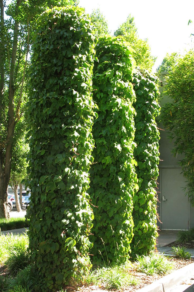 Trellis Vines Green Wall Climbing Vines Columns Photo