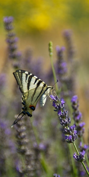 Lavender and butterfly Papilio machaon