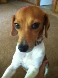 Maggie Mae is an adoptable Jack Russell Terrier Dog in Little Rock, AR. Jack Russell/ Beagle mix female             LOOKING TO ADOPT A GREAT FAMILY PET, LOOK NO FURTHER. Maggie Mae is a sw...