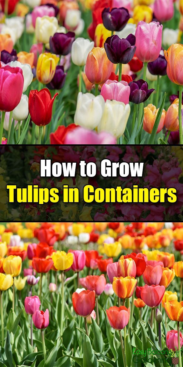 How To Grow Tulips In Containers Easy Balcony Gardening Growing Tulips Planting Tulips Tulips