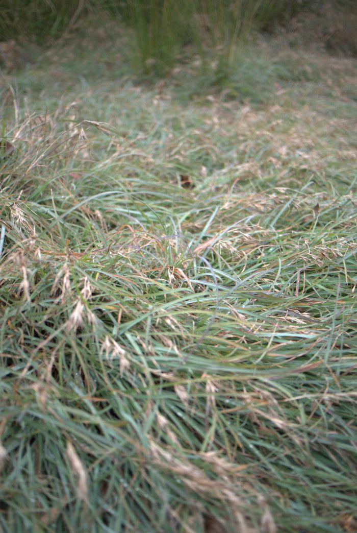 Groundcover grass