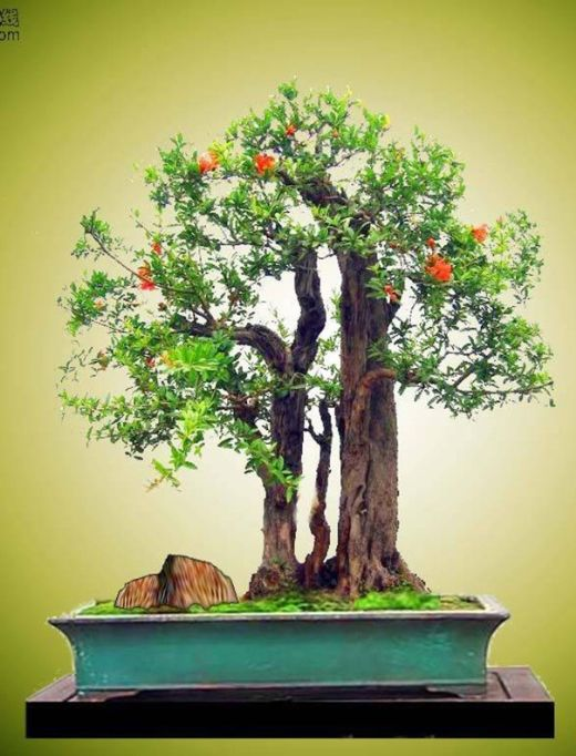 c y l u bonsai p 2 bonsai pinterest pflanzen und. Black Bedroom Furniture Sets. Home Design Ideas