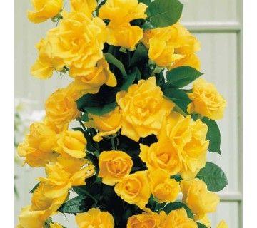 De Golden Shower klimroos is een van de weinige klimrozen welke gemakkelijk bloeit.  De roos laat zich makkelijk leiden langs rozenbogen, berceau, prieel, pergola, veranda.