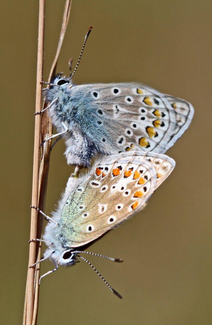 Almindelig Blåfugl (Polyommatus icarus) Kendetegn: Vingefang: 24-32 mm. Hannens overside er skinnende lys blå med en lysere isblå forkant af forvingen. Hunnens overside varierer fra ensfarvede brune eksemplarer til eksemplarer med udbredt blå bestøvning.  Karakteristisk er en sort plet på forvingen indenfor midtpletten. Levested: Arten lever i kolonier på mange forskellige typer af tørre og varme lokaliteter, men den kan findes så at sige overalt i Danmark
