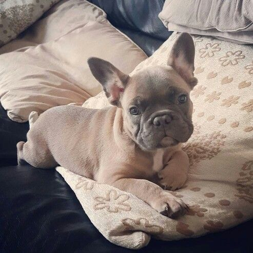 Posing!  @simba_the_french_bulldog