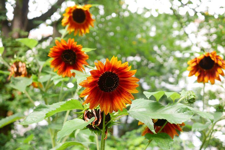 Sunflowers in bloom tuulinenpaiva.fi