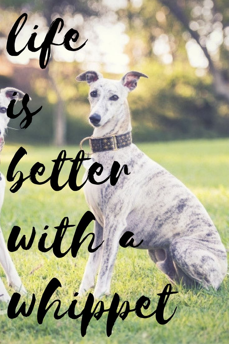 See more at https://mypupboutique.com/collections/whippet  #Whippet