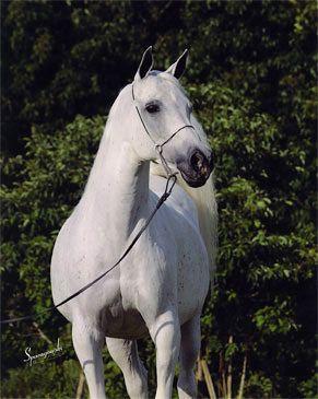 Nadira Fujai (Shaikh al Badi x Antaja)  1987 (d) grey SE mare - breeder unknown