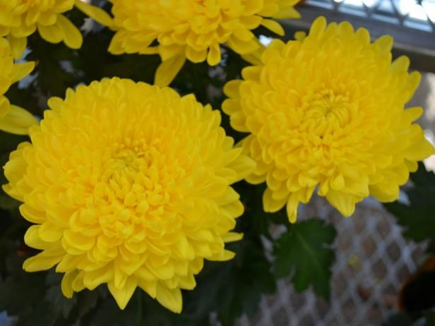 Learn tips for planting and growing hardy mums from the experts at HGTV Gardens.