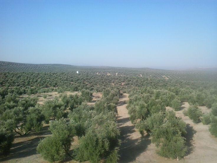 Desde bien temprano visitando los campos de #Jaén para preparar lo que será la campaña 2015-2016 #AOVEmadeinJaén