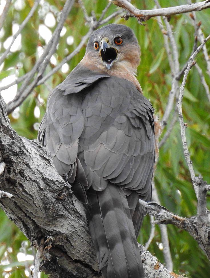 Cooper's Hawk -