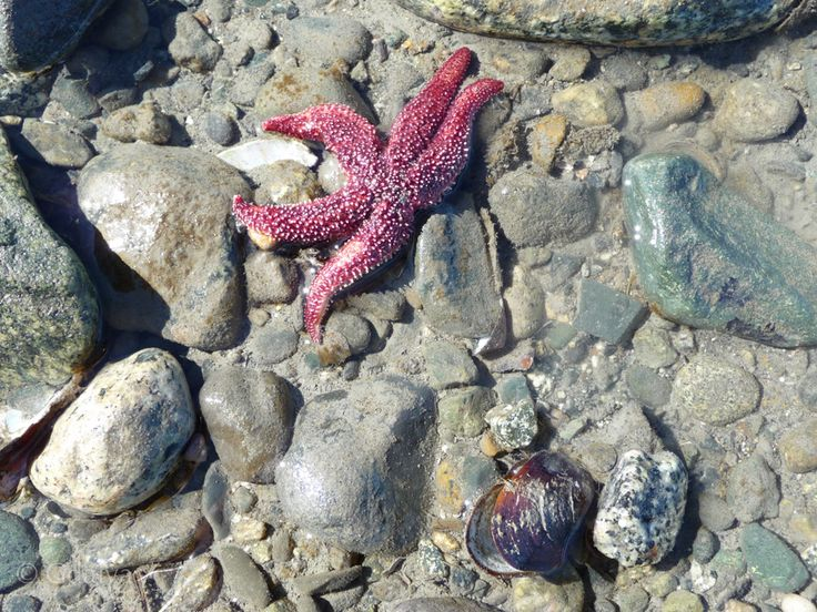 Red star fish, at the low tides all kind off creatures are reveled