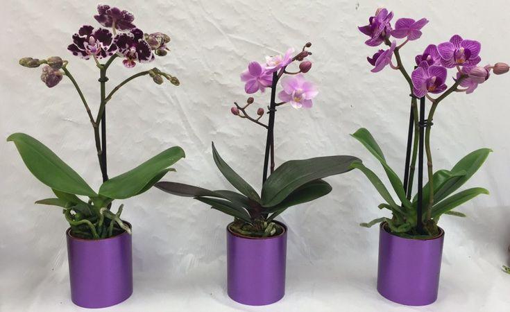 Mit tegyünk az elhervadt orchideával, hogy újra virágozzon