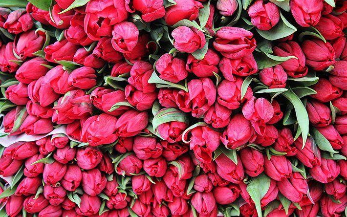 silmut, vaaleanpunainen tulppaanit, kauniita kukkia, tulppaanit