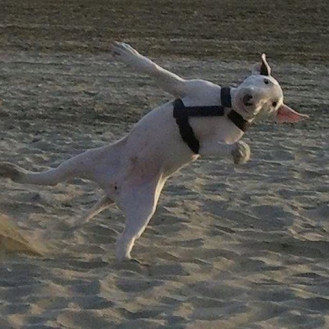 This is awesome. English bull terrier.
