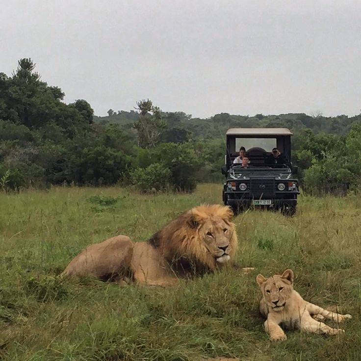 A lion and cub out on the plains. What amagnificent sight for our guests at Sibuya Game Reserve, Kenton on Sea, Eastern Cape, South Africa www.sibuya.co.za