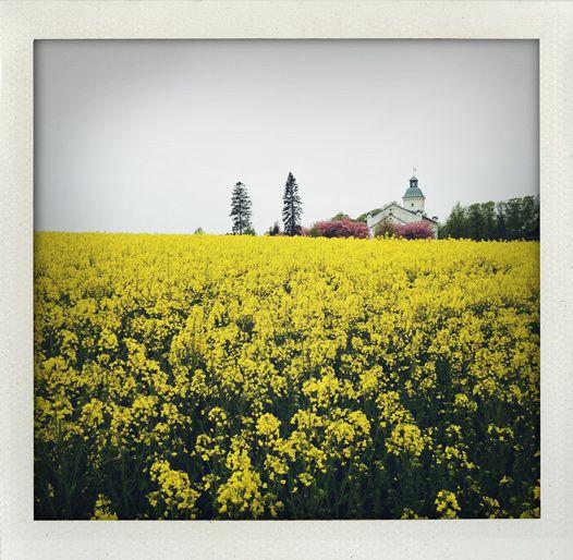 Rapeseed and cherry blossom (Trollenäs, Skåne, Sweden).