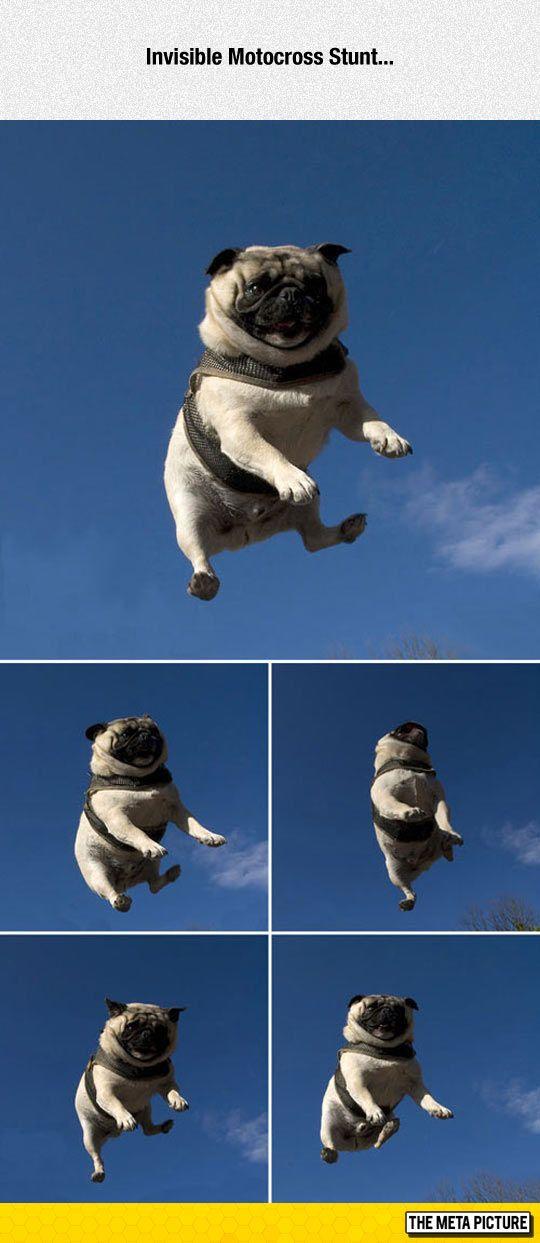 stunt pug