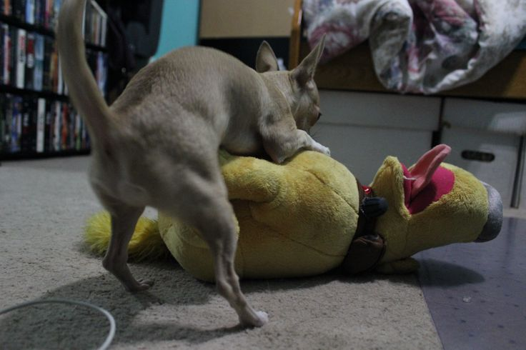 Master Cookie getting his groove on #humpingdogs #chihuahua #puppy